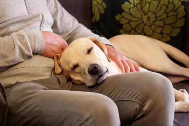 Cão está descansando para proprietário de homem acariciando seu animal de estimação, closeup. Amarelo labrador retriever cão sentir-me feliz enquanto o seu proprietário mimos. Dono do animal com cachorro em casa, deitado e dormindo nas pernas. Cacho - foto de acervo