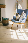 Dog pug is sitting on blue chair in light Scandinavian style interior