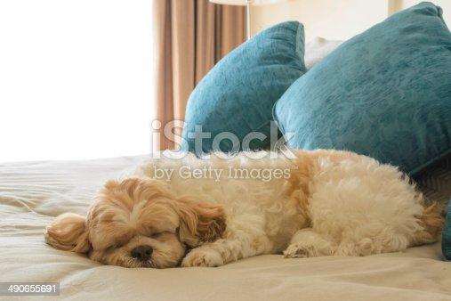 istock dog is sleeping on leather sofa 490655691
