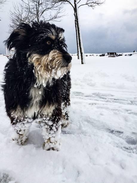 Dog is snow – zdjęcie