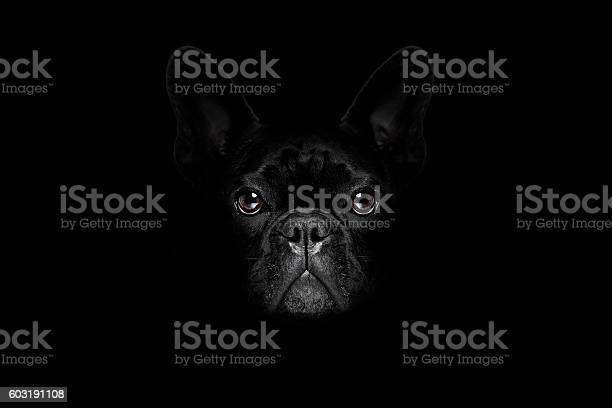 Dog isolated on black picture id603191108?b=1&k=6&m=603191108&s=612x612&h=kecnlowjtsqqy9zde33pywzq5 a0bgrgj m8jrf hwy=