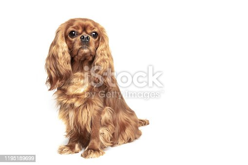 Cute dog - cavalier spaniel, isolated on white background