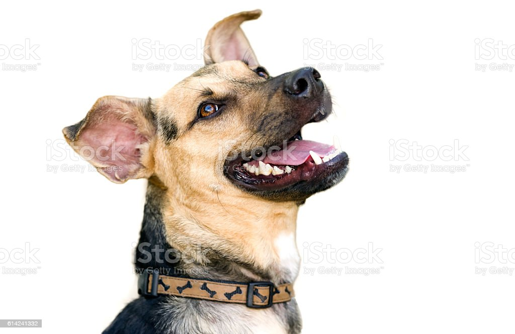 Hund, isoliert auf weiss – Foto