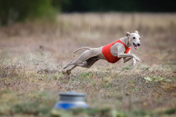 Dog Italian Greyhound pursues bait in the field Coursing. Small Dog Italian Greyhound pursues bait in the field. Dog running in the red t-shirt short haired chihuahua stock pictures, royalty-free photos & images