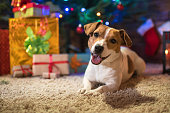 dog jack russel under a Christmas tree with gifts and candles