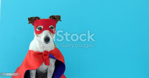 Dog super hero costume. little jack russell wearing a red mask for carnival party isolated blue background