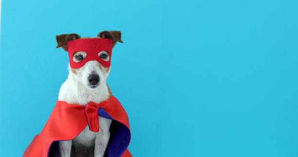 Dog jack russell super hero costume Dog super hero costume. little jack russell wearing a red mask for carnival party isolated blue background costume stock pictures, royalty-free photos & images