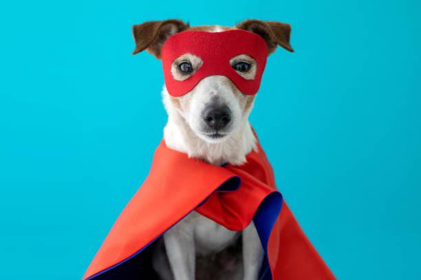 Dog jack russell super hero costume stock photo