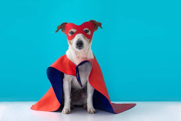 chien jack russell super héros costume - mascotte photos et images de collection