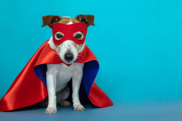 Dog jack russell super hero costume Dog super hero costume. little jack russell wearing a red mask for carnival party isolated blue background headland stock pictures, royalty-free photos & images