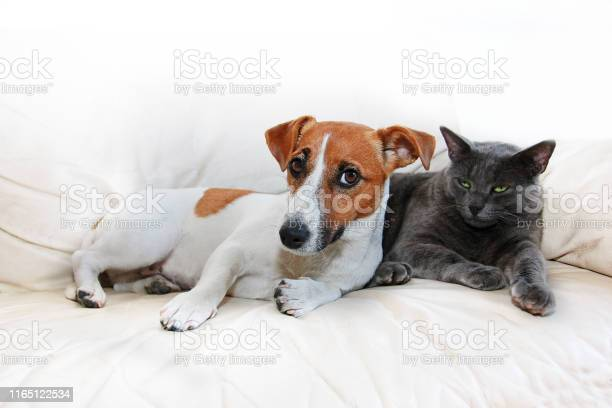 Dog jack russell terrier and gray cat sit on a white sofa after on picture id1165122534?b=1&k=6&m=1165122534&s=612x612&h=a8a lawoxwxnbx fd0g6t4fnn2zke8jvht4hj5yt3zw=