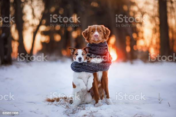 Dog jack russell terrier and nova scotia duck tolling retriever picture id639851998?b=1&k=6&m=639851998&s=612x612&h=eh87dohnkmiontagjl0ojmv9c4jk0deepggyx71xbly=