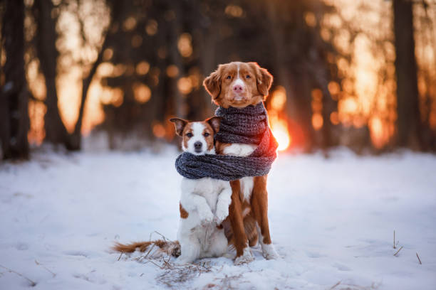 Dog Jack Russell Terrier and Nova Scotia Duck Tolling Retriever Two dogs, hugging each other, on the nature of in the winter at sunset fine art portrait stock pictures, royalty-free photos & images