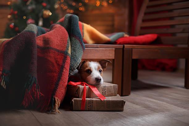 hund jack russell terrier urlaub - silvester mit hund stock-fotos und bilder