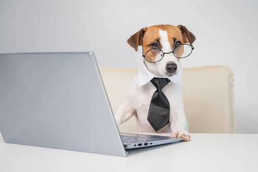 Dog jack russell terrier in glasses and a tie sits at a desk and works at a computer on a white background. Humorous depiction of a boss pet