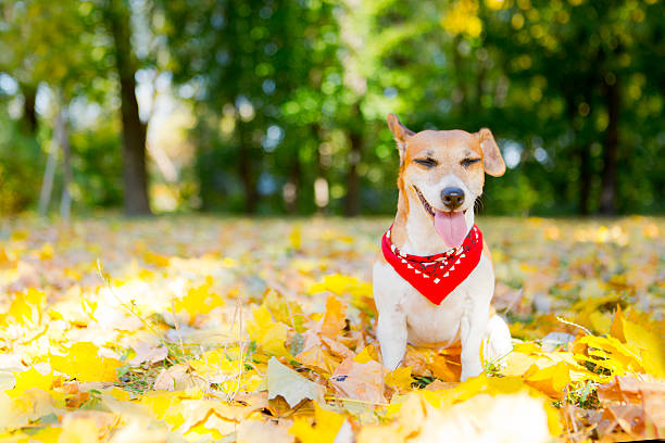 dog jack russell terrier in the park - mini amusementpark stockfoto's en -beelden