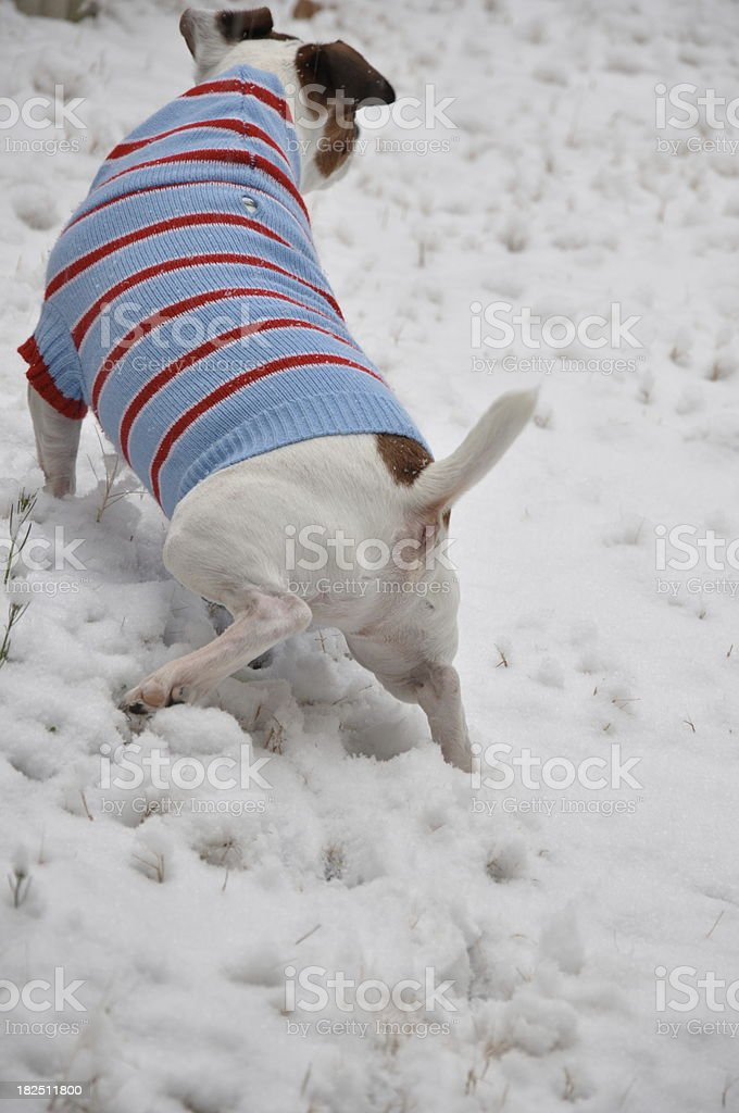 Dog Jack Russell Terrier is doing his business in snow wearing...