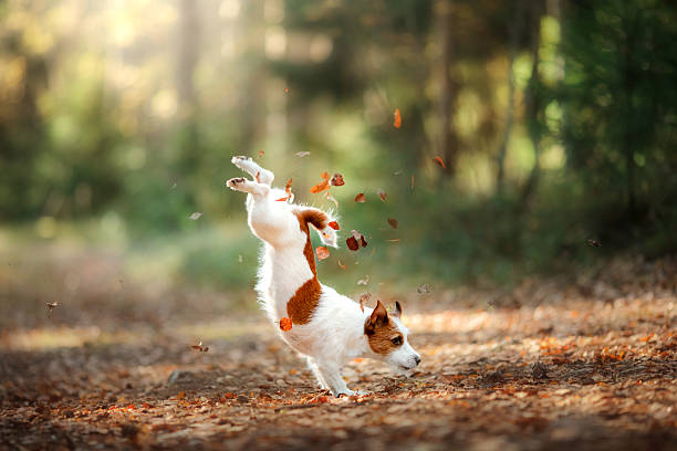 dog jack russell terrier jump - dog jumping stock photos and pictures
