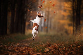 Dog Jack Russell Terrier jump
