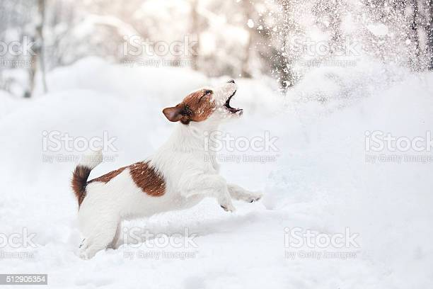 Dog jack russell terrier playing in the snow picture id512905354?b=1&k=6&m=512905354&s=612x612&h=i9pebsxndgj1aveqzznfd8hzvuvdp8qrwr9xo5jbzpq=