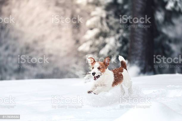 Dog jack russell terrier playing in the snow picture id512905530?b=1&k=6&m=512905530&s=612x612&h=0sqszlrku2hdlasfllrallml7jafqigvjmzqk5umx9q=
