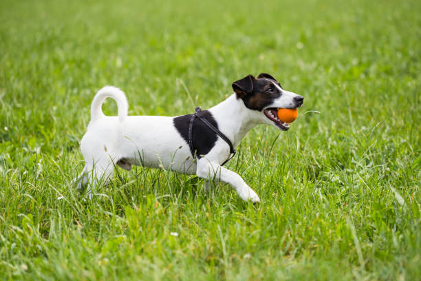 Dog jack russell terrier playing with a ball picture id973434858?b=1&k=6&m=973434858&s=612x612&w=0&h=dc fv67aazmczhro84xdg6napagydgs6cvlzhf5itca=