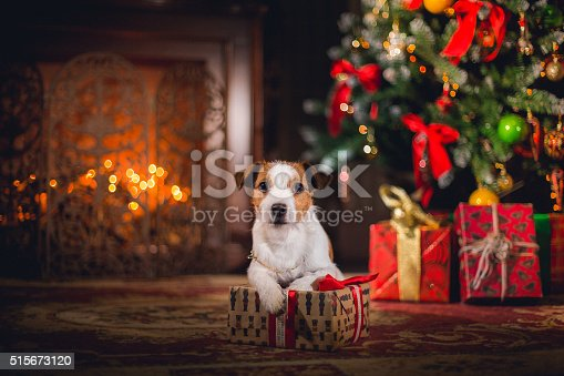 Dog Jack Russell Terrier. Puppy. Christmas,