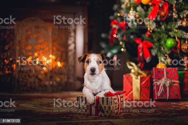 Dog jack russell terrier puppy christmas picture id515673120?b=1&k=6&m=515673120&s=612x612&h=jxyjhepuru4r0o3b sctjmqiumzv9rez7cqmrmunf5e=