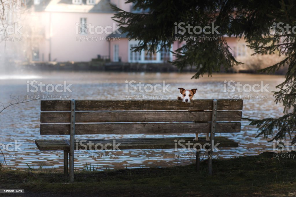 dog jack russell terrier sits on a bench, outside zbiór zdjęć royalty-free