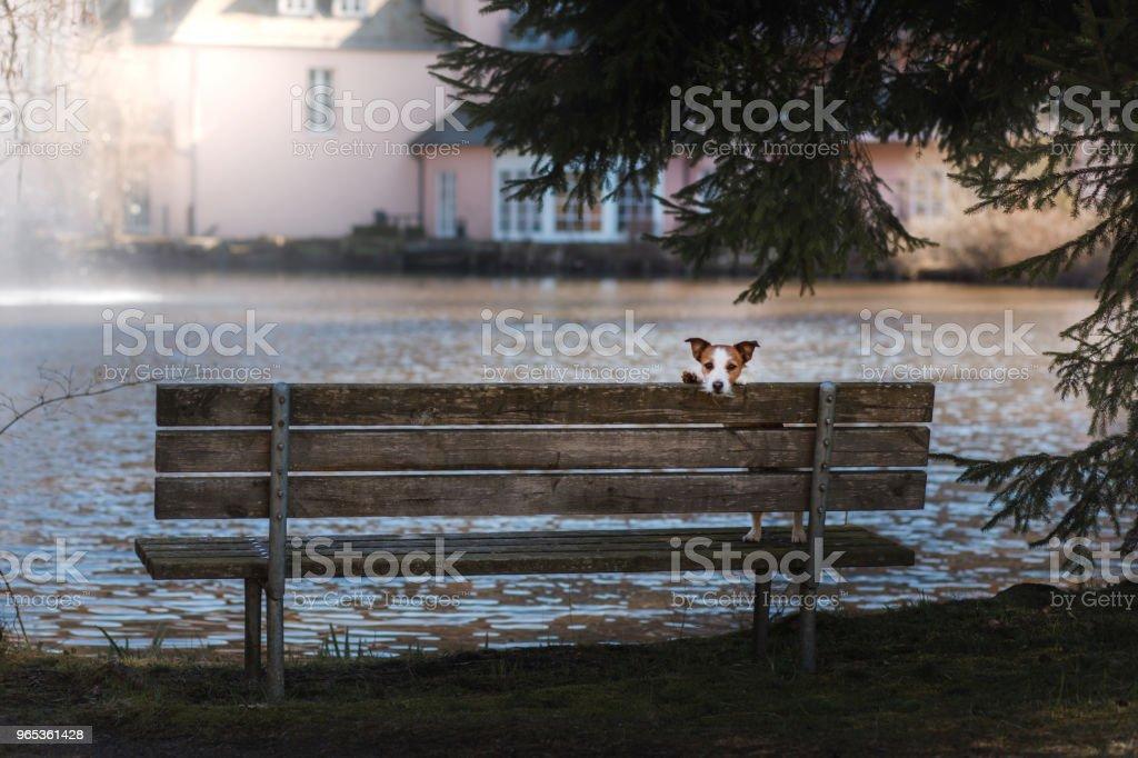 chien jack russell terrier est assis sur un banc, à l'extérieur - Photo de Amitié libre de droits