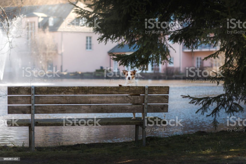dog jack russell terrier sits on a bench, outside royalty-free stock photo