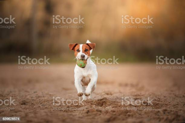 Dog jack russell terrier with a ball picture id639628574?b=1&k=6&m=639628574&s=612x612&h=xkmzdxrl2 wozsinvseidj8vra4pgyrut iwnkzykwk=