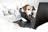 istock dog Jack Russell terrier  yawns in grey hoodie and headphones using laptop 1298273525