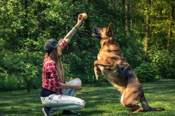 dog jump for ball, friendship with owner - training imagens e fotografias de stock