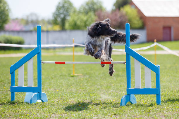 Chien sauter par-dessus obstacle sur le parcours en agilité du procès - Photo