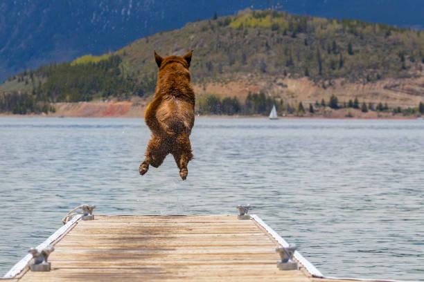 Dog jump picture id861726182?b=1&k=6&m=861726182&s=612x612&w=0&h= ipnq5h00zy6udtdaqve8renu56gjpwfoezce8j6xl0=