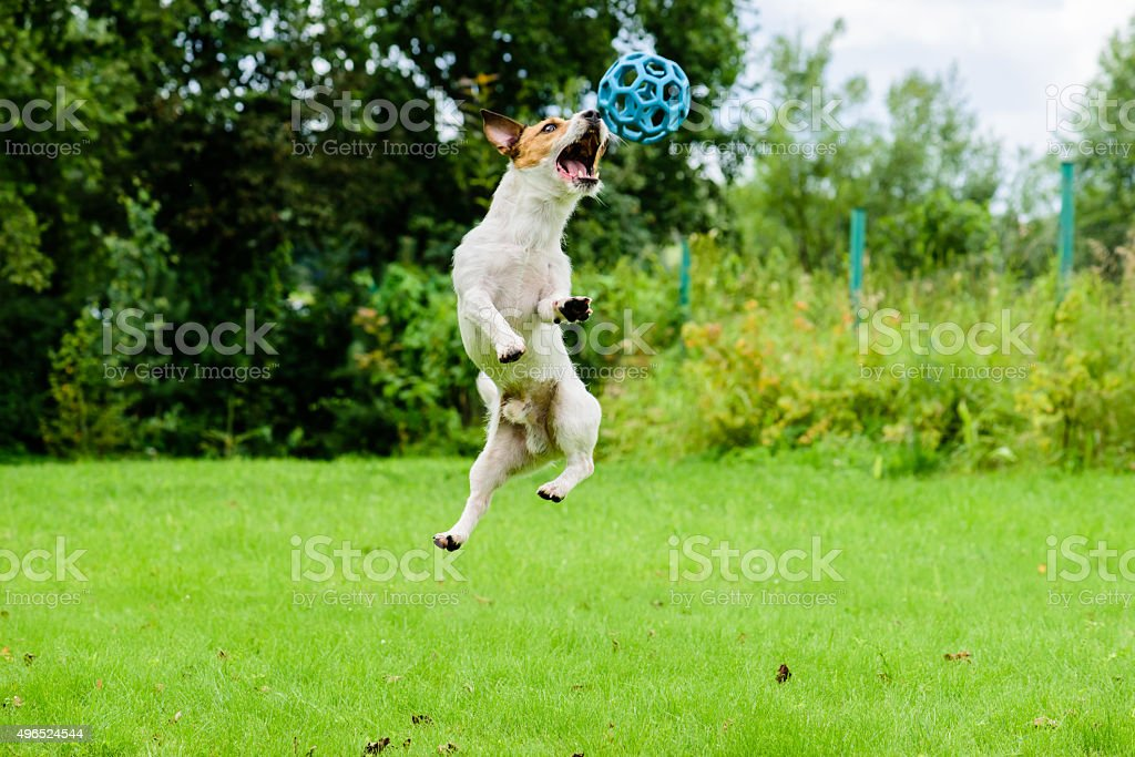 Dog jumping ant catching ball. stock photo