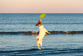 Jack Russell Terrier playing frisbee at evening walk