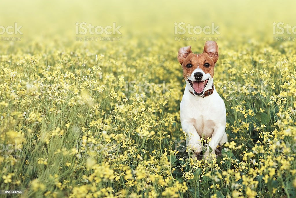 Dog jumping in a field of flowers stock photo