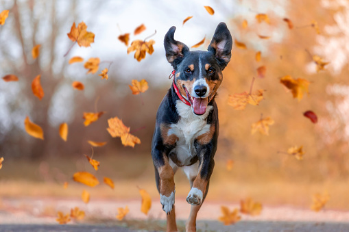 Dog, Appenzellen Sennenhund jumping in autumn leaves over a meadow