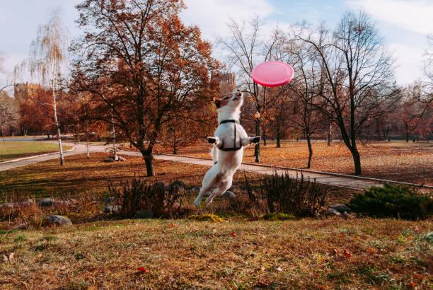 Chien des sauts de chute (automne) Parc jouer avec des volants à disque - Photo