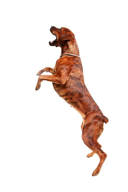 Dog jumping in the air picture id168504828?b=1&k=6&m=168504828&s=612x612&w=0&h=y4zxs7pioz32lvxc 7lpxa2ndzmjxolfh9i9uurcgoa=