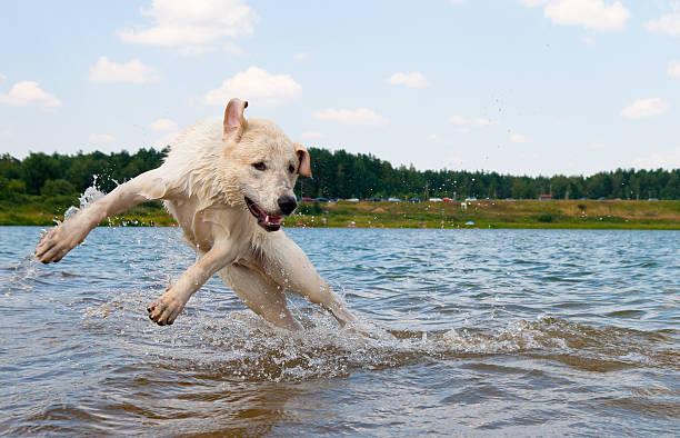 Dog jumping in the water picture id146904762?b=1&k=6&m=146904762&s=612x612&w=0&h=kj3ttn7gecgad0wbpixmlrd25ddrfhkabjdcqqux0e8=