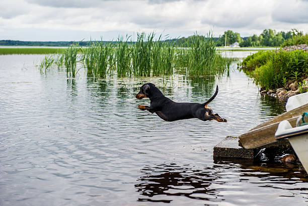 Dog jumping in to a lake from a pier picture id542943420?b=1&k=6&m=542943420&s=612x612&w=0&h=yw1qs1kj44bd4phcvoneyplpydzrltkrpov6njzxhms=