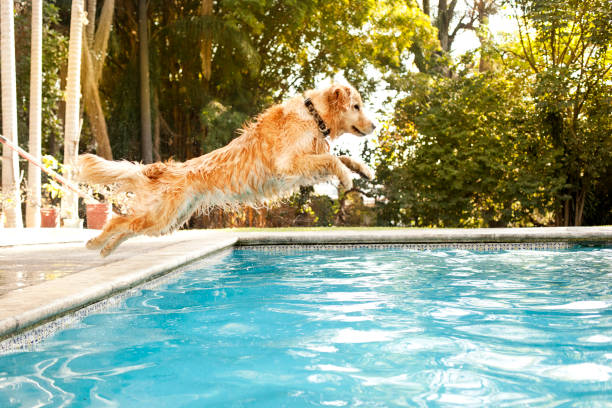 dog jumping into pool - dog jumping stock photos and pictures