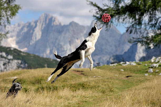 Dog jumping on a field to get a red ball stock photo