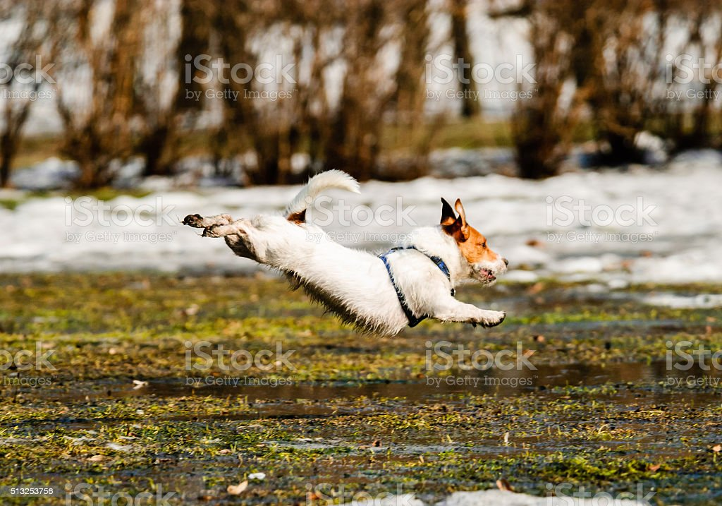 Dog jumping over a puddle at spring park stock photo