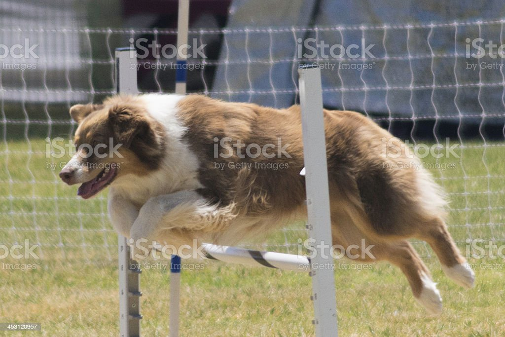 Dog Jumping royalty-free stock photo