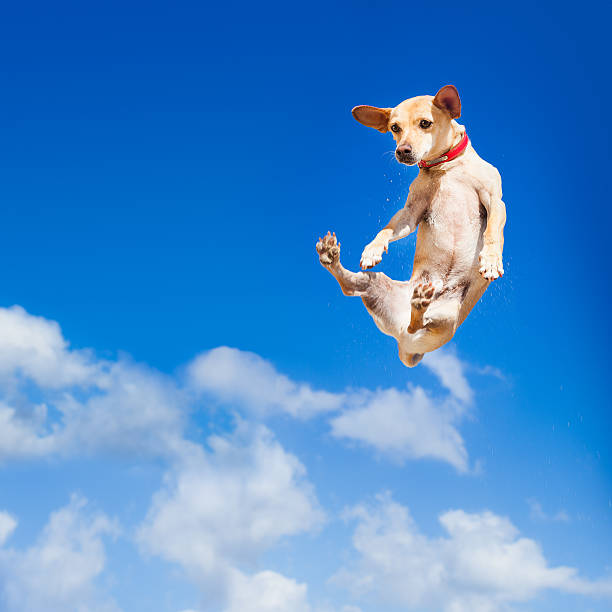 Dog jumping picture id476740810?b=1&k=6&m=476740810&s=612x612&w=0&h=38acxtzwiaryr80o9a t4gahtcrxjfl72m umzi9ip4=