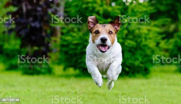 Dog jumping straight forward at camera playing at green lawn picture id857209138?b=1&k=6&m=857209138&s=612x612&h=gjew0   i1tdqfqovthmglgp6stymexgfyub64jt714=